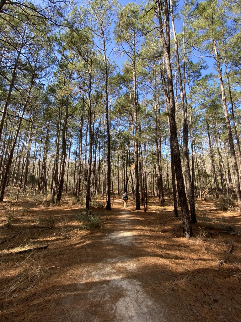 large trees at Huntsville state park